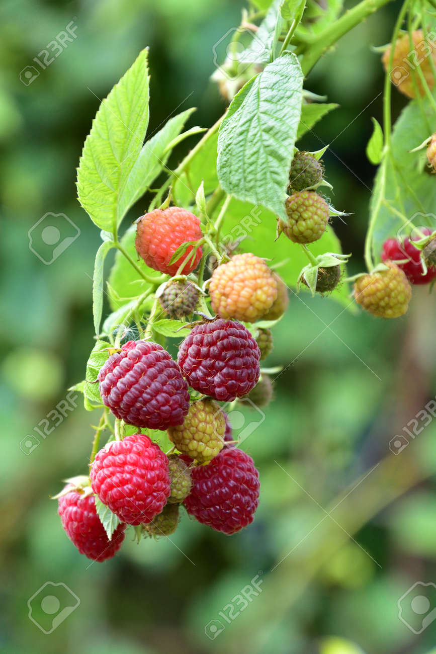 Many ripe res raspberries on the bush growing - 155906372