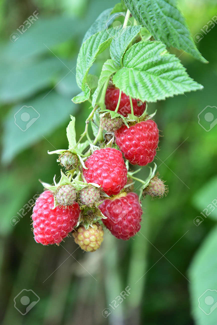 Many ripe res raspberries on the bush growing - 155906374