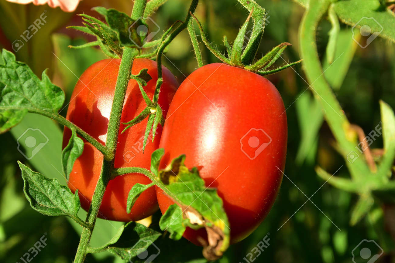 Two red tomatoes on the bush growing - 155753142