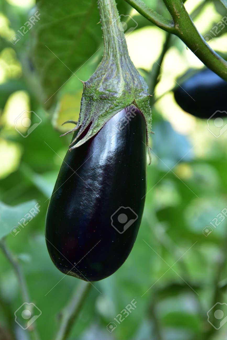 Long ripe violet eggplants growing on the bush - 155757703