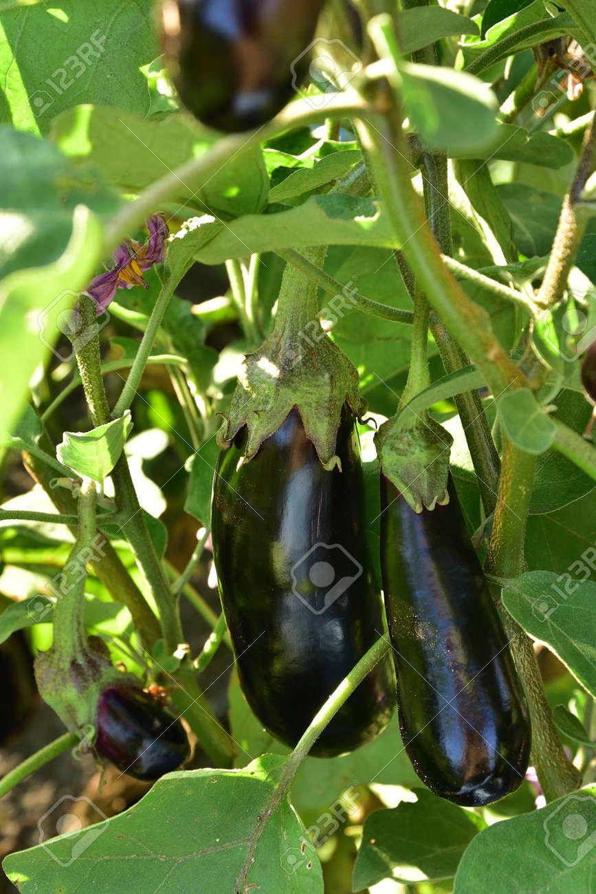 Long ripe violet eggplants growing on the bush - 155753060