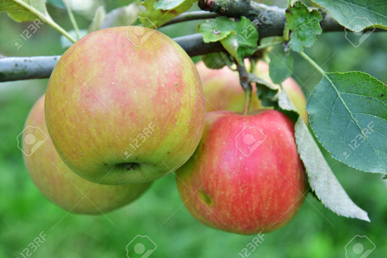 Red and green apples growing on the tree - 155906382