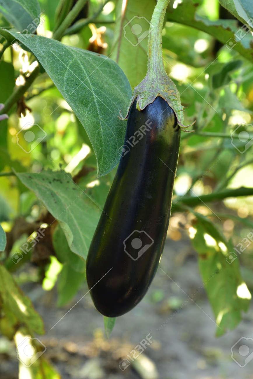 Long ripe violet eggplants growing on the bush - 155906383