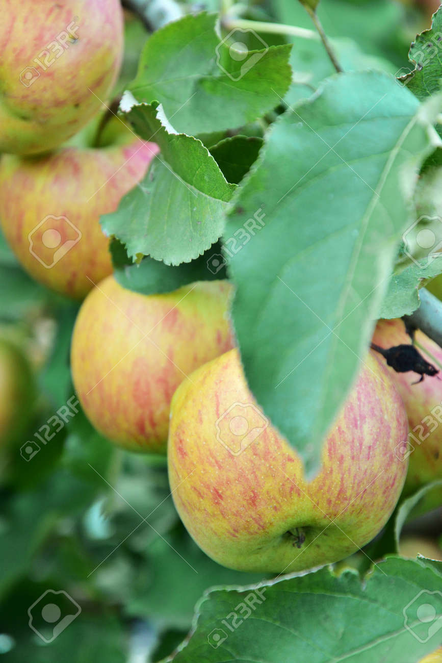 Red and green apples growing on the tree - 155906385