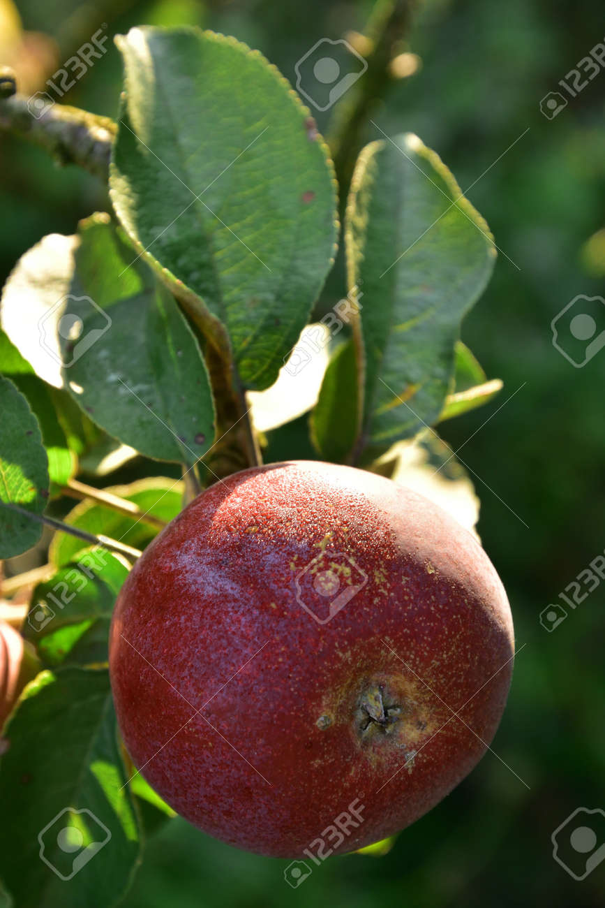 One red Autumn apple growing on the tree - 155906386