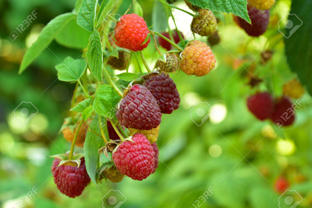 Many ripe res raspberries on the bush growing - 155906387