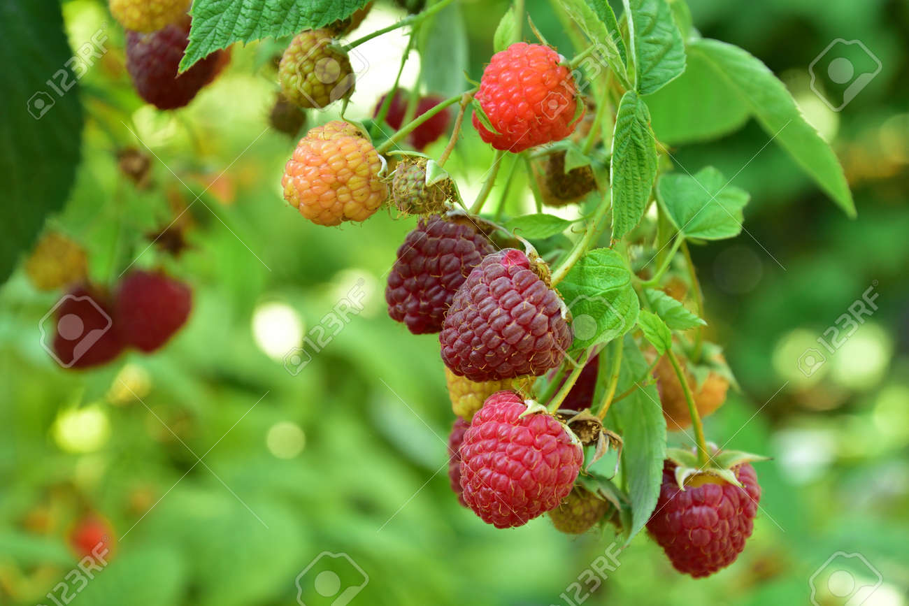 Many ripe res raspberries on the bush growing - 155906389