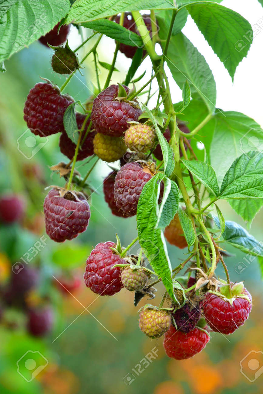 Many ripe res raspberries on the bush growing - 155906390