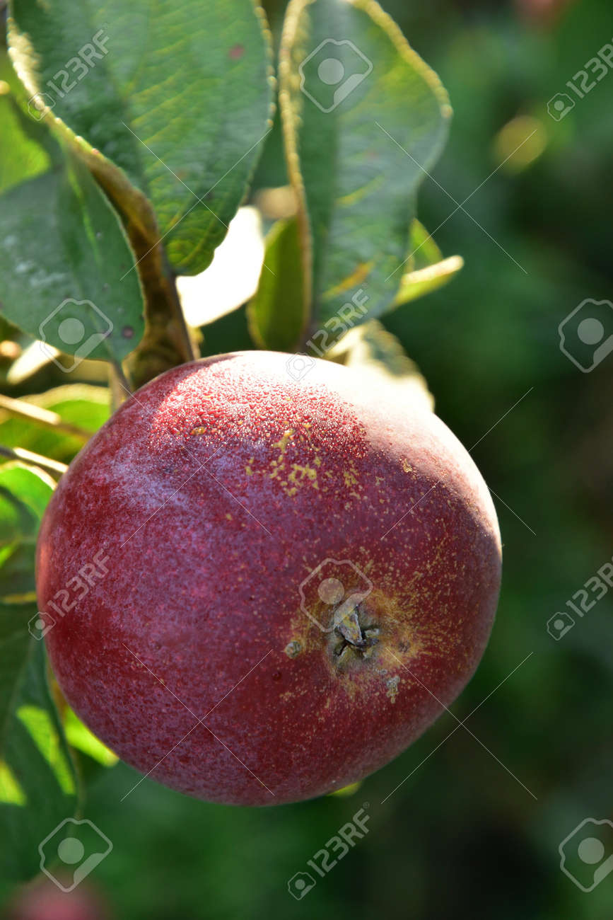 One red Autumn apple growing on the tree - 155906391