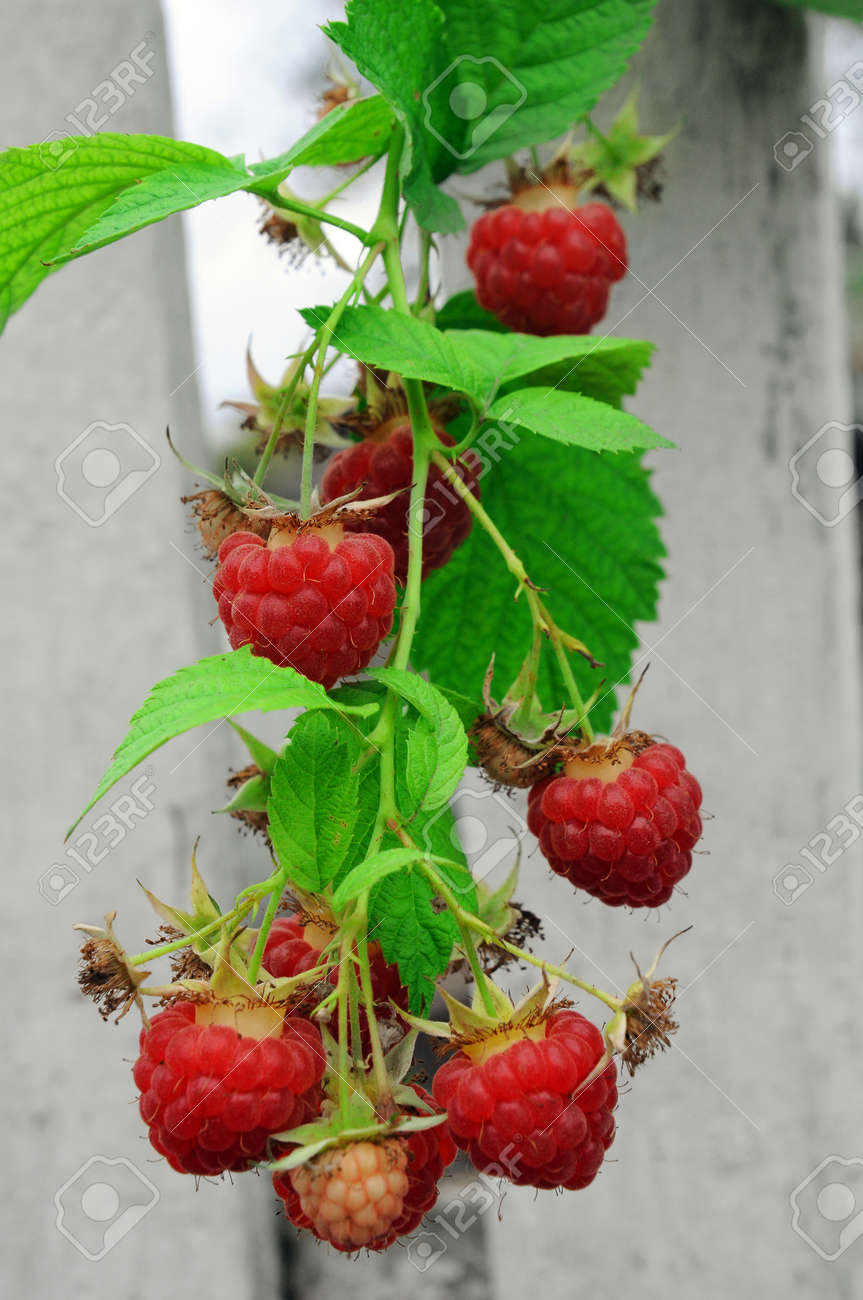 Twig of red raspberry over white wooden painted fence on background - 156011920