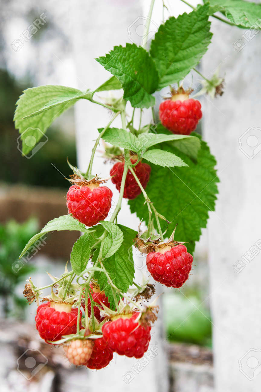 Twig of red raspberry over white wooden painted fence on background - 156011468