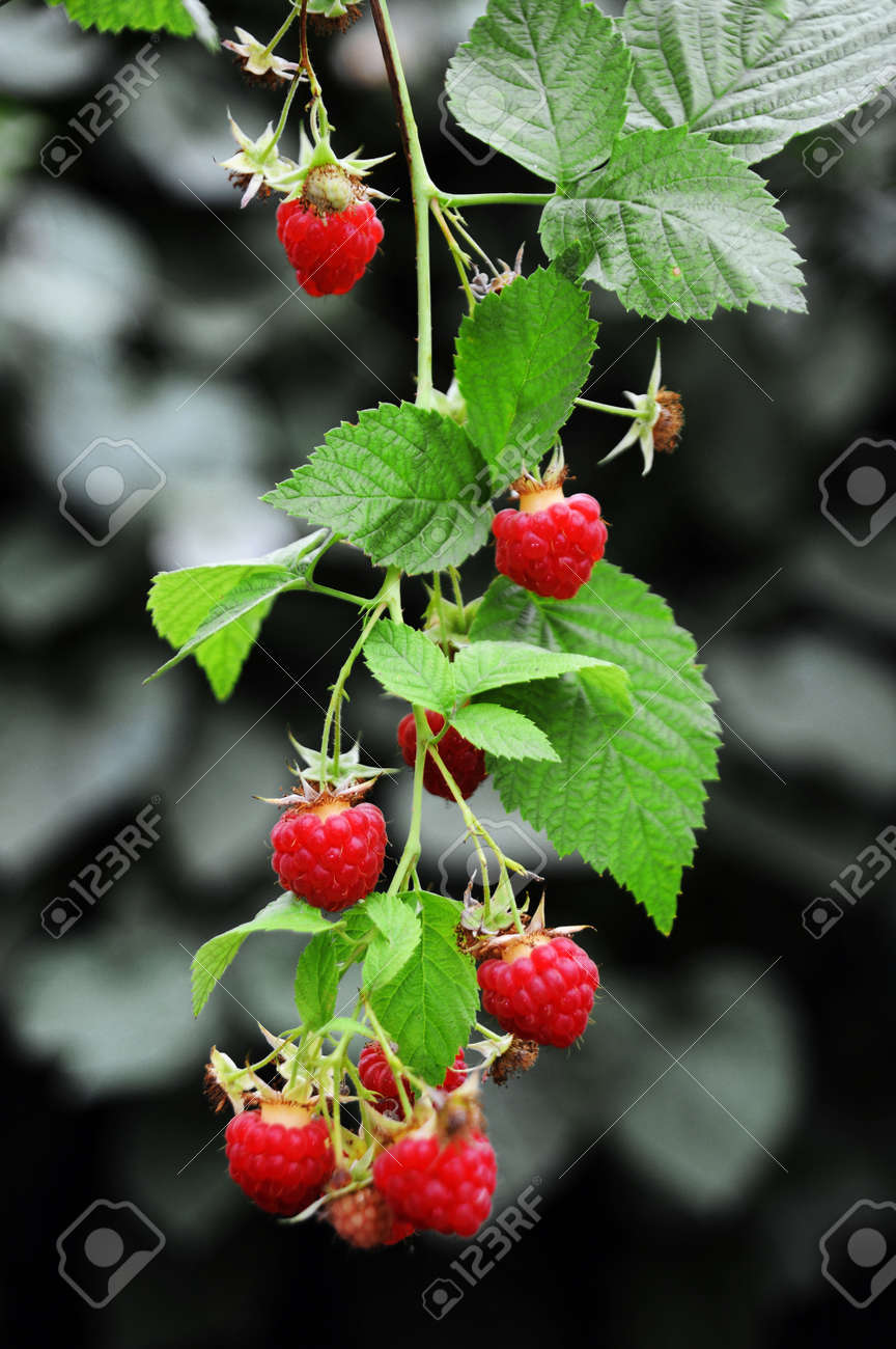 Big red ripe juicy raspberries on the plant - 156011510