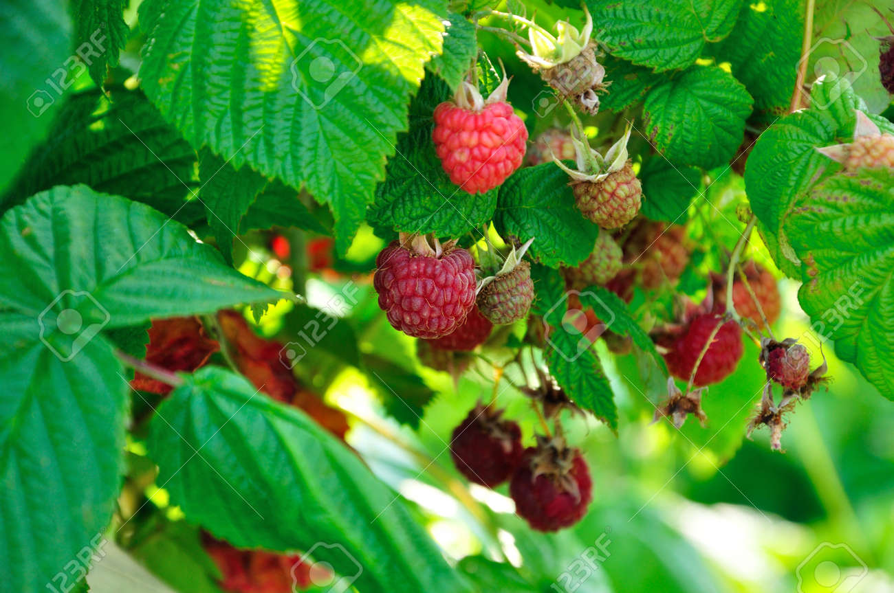 a lot of red raspberries on a bush - 156011643