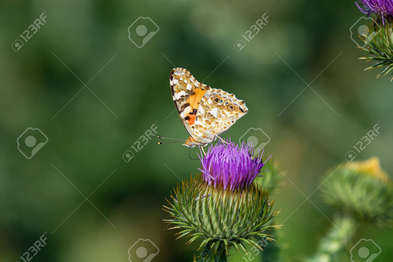 Painted lady butterfly flying into blue sky from flower of spiky thistle - 171528293