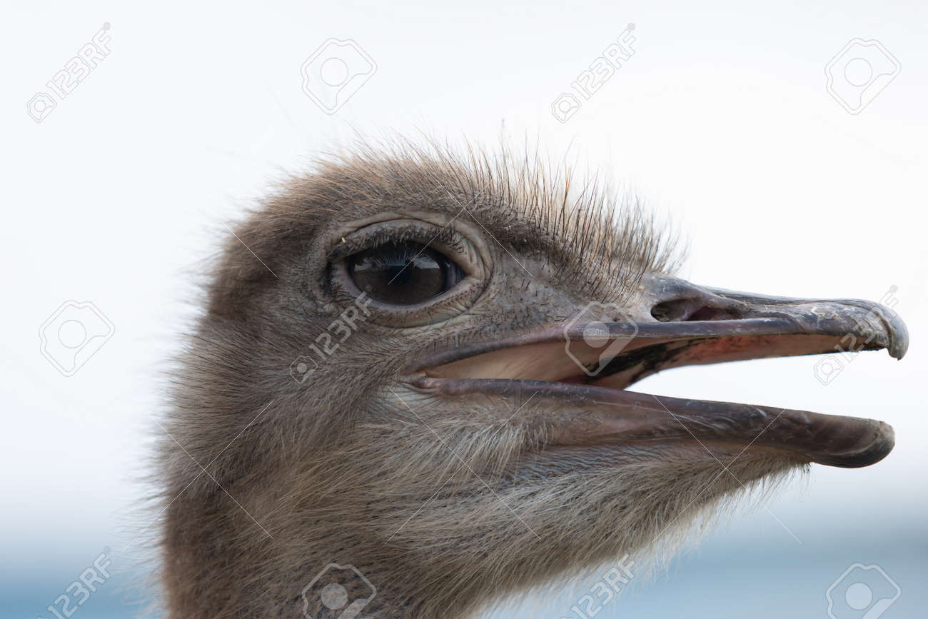 Ostrich head with beak open close up - 171533539