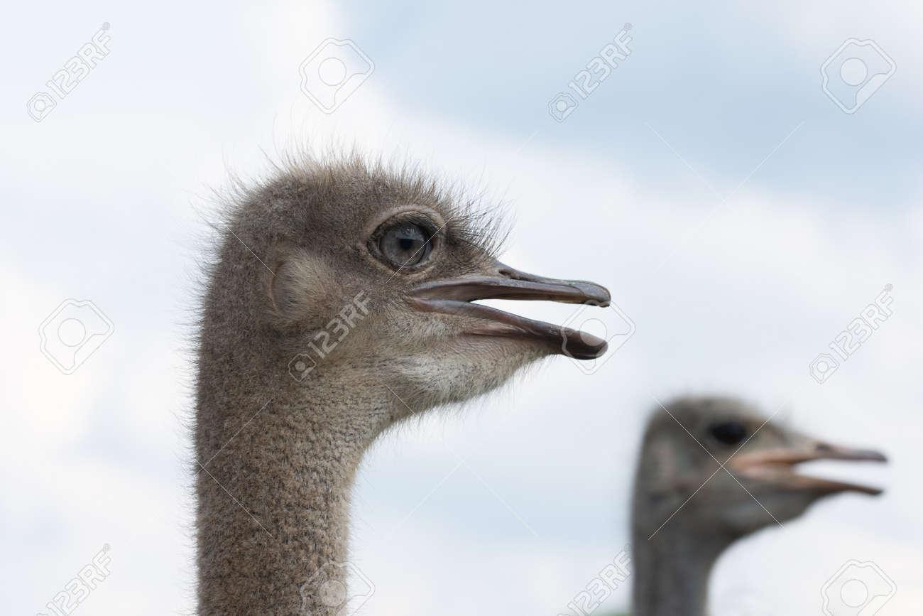 Ostrich head with beak open close up - 171533584