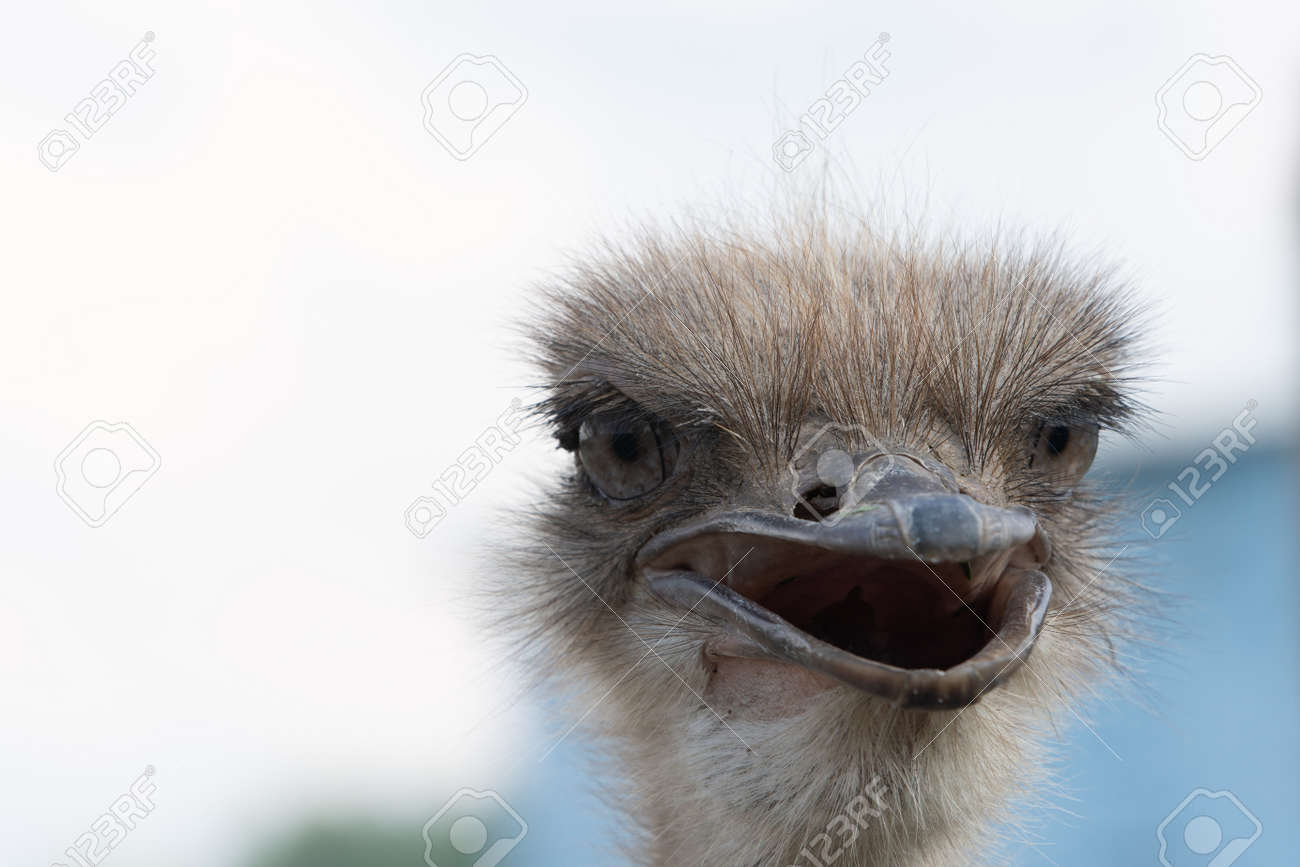 Ostrich head with beak open close up - 171533629