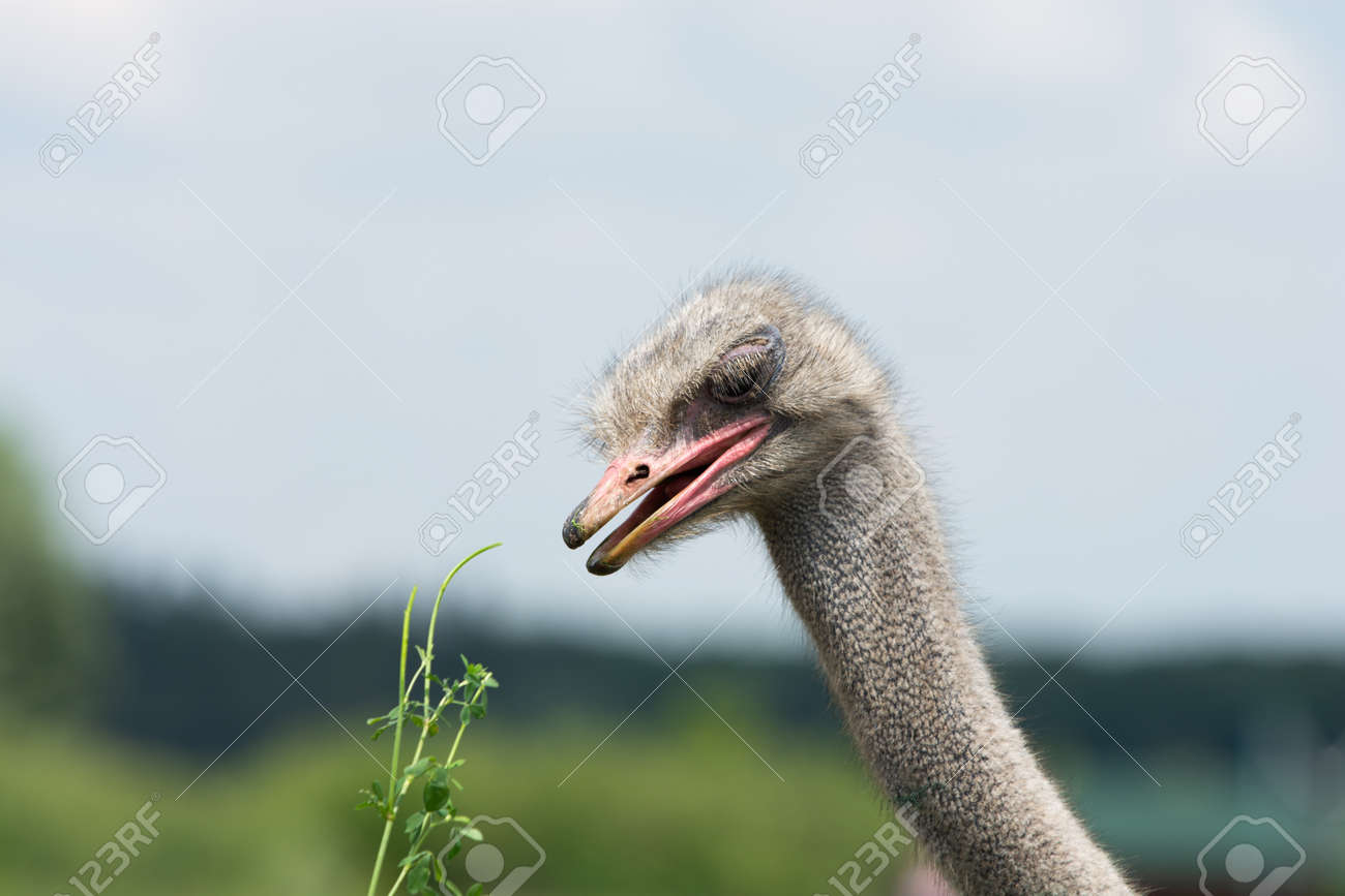 ostrich is going to eat green grass proposed - 171533709