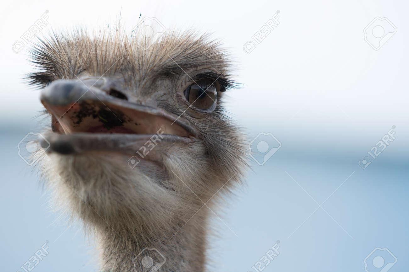Ostrich head with beak open close up - 171533574