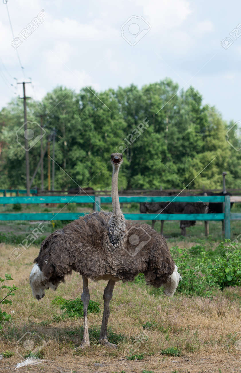 African ostrich standing behind fence on a farm - 171533661