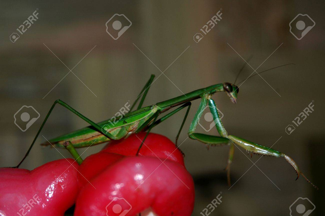 Mantis Or Belalang Sembah Indonesia Stock Photo Picture And Royalty Free Image Image 2354246