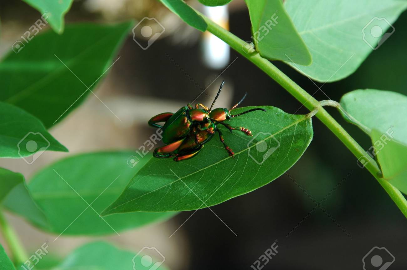 Beetles Mating Stock Photo - 2366195