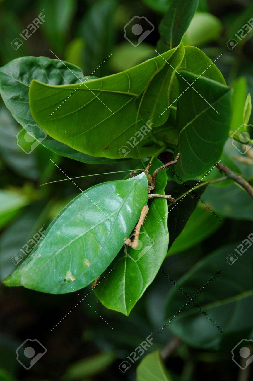 The Green Leaf Insect or Walking Leaf Stock Photo - 2577313