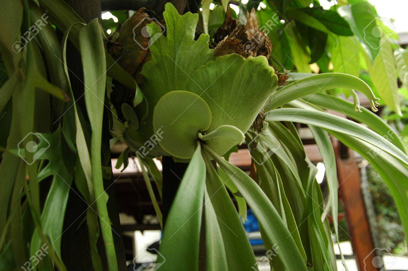 Staghorn Fern Stock Photo - 2587353