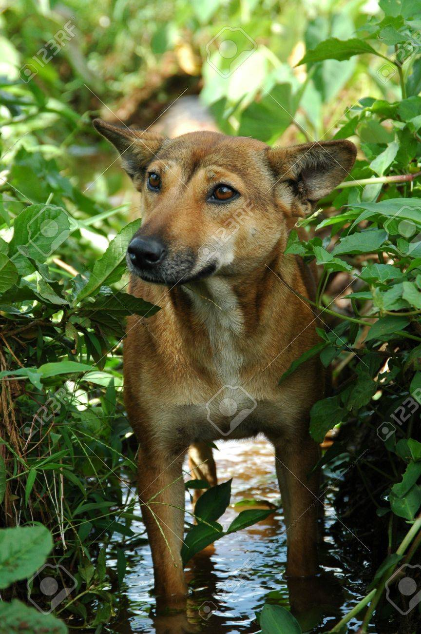 Anjing Kampung Indonesian Local Dog Stock Photo Picture And Royalty Free Image Image 2873560