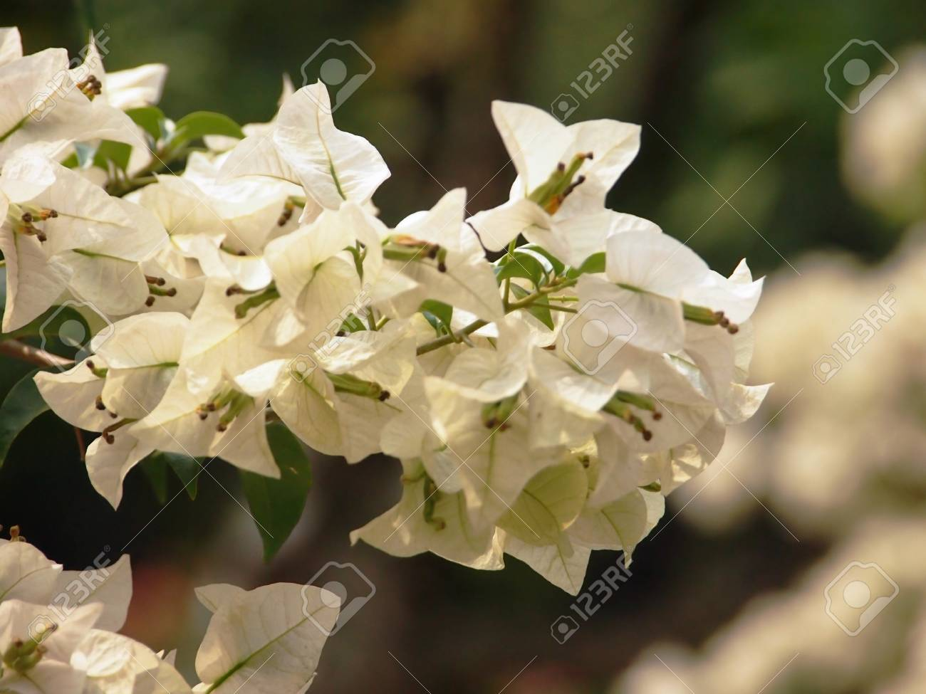 White Blossom Stock Photo - 15656856