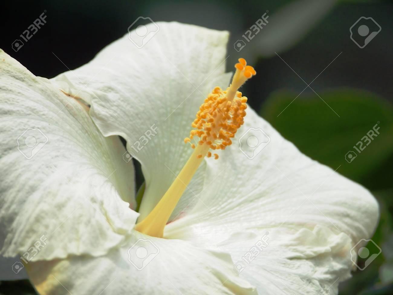 White Chinese Hibiscus Stock Photo - 15656868