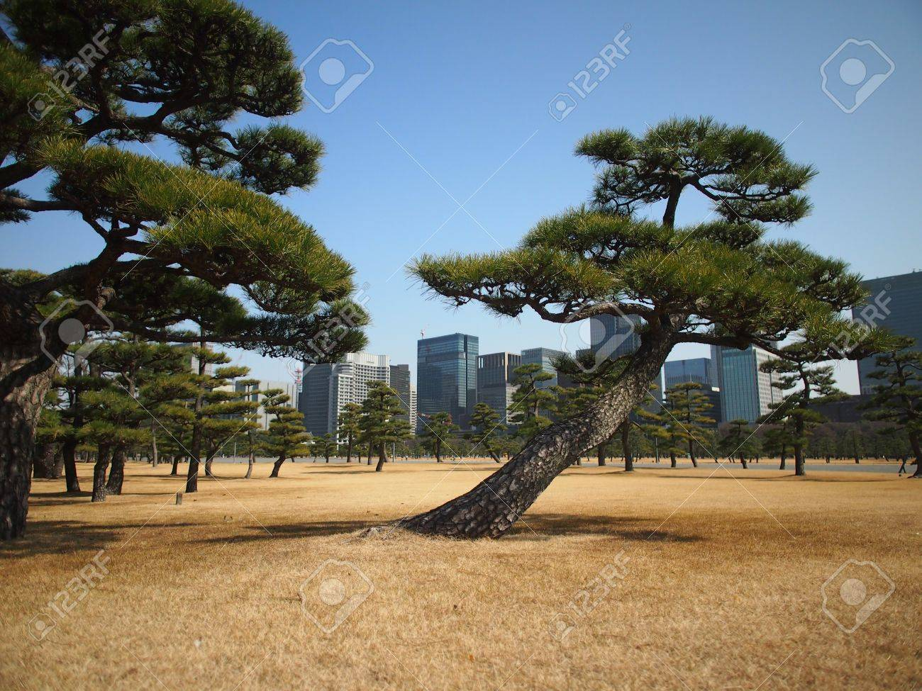 Traditional Japanese Style Pine tree with Modern Building skyline background Stock Photo - 18365993