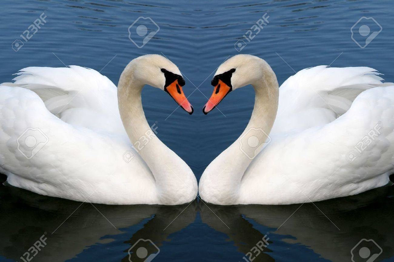 two swan in love forming Stock Photo - 10735175