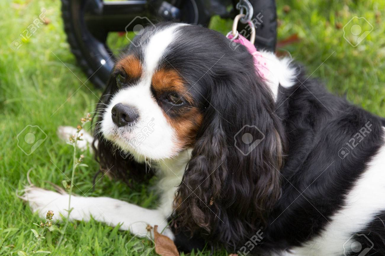 Cute Puppy Cavalier King Charles Spaniel Tricolor Puppy In Stock Photo Picture And Royalty Free Image Image 62368111