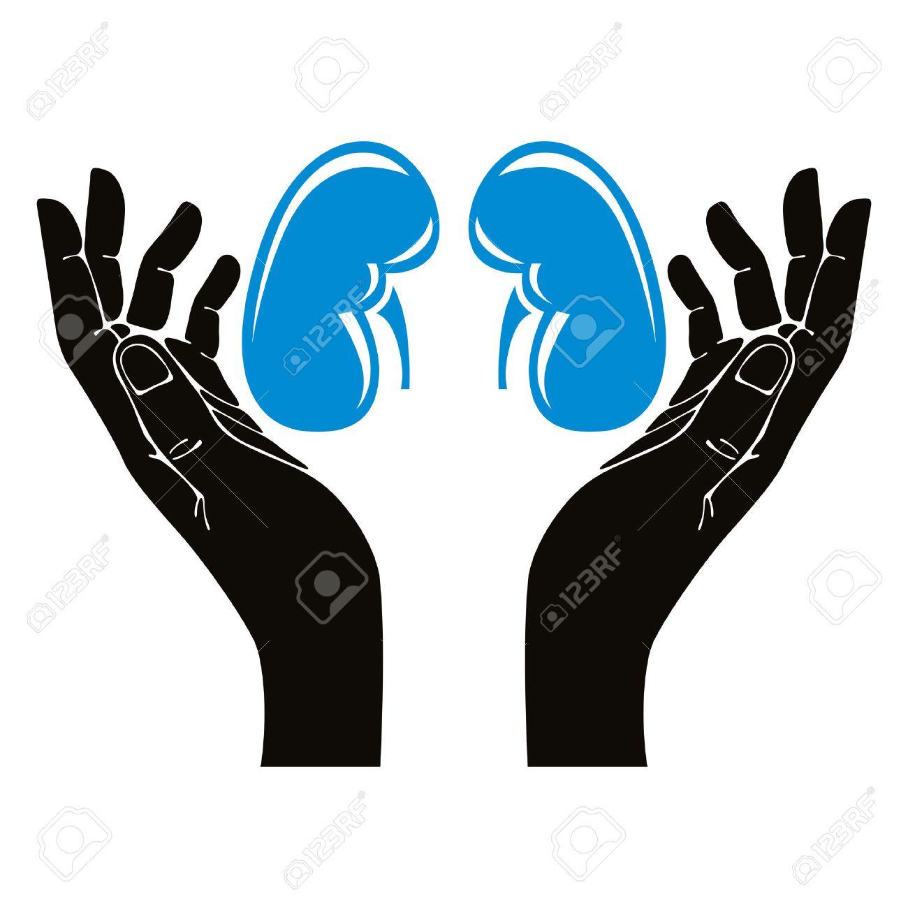 Hands with human kidneys vector symbol. Stock Vector - 31990132