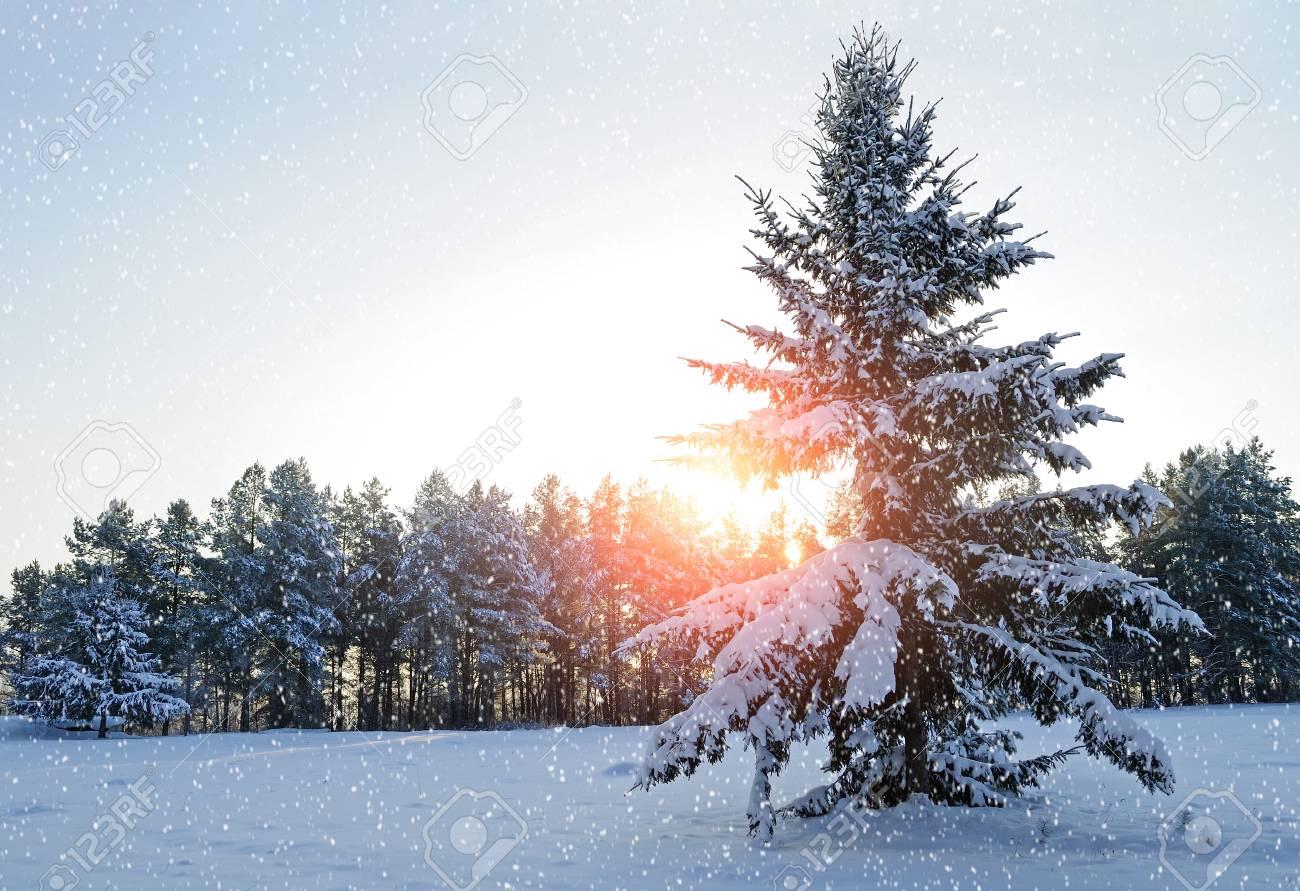 Paysage Dhiver Sapin Enneigé Dans La Forêt Dhiver Sous La Neige Qui Tombe En Soirée Froide Hiver Scène De La Forêt Avec La Chute Des Flocons De