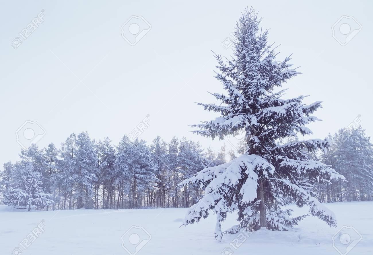 Paysage Dhiver Forêt Dhiver Avec Sapin Enneigé Au Premier Plan Lors Des Chutes De Neige Par Temps Froid Traitement Des Tons Froids Scène