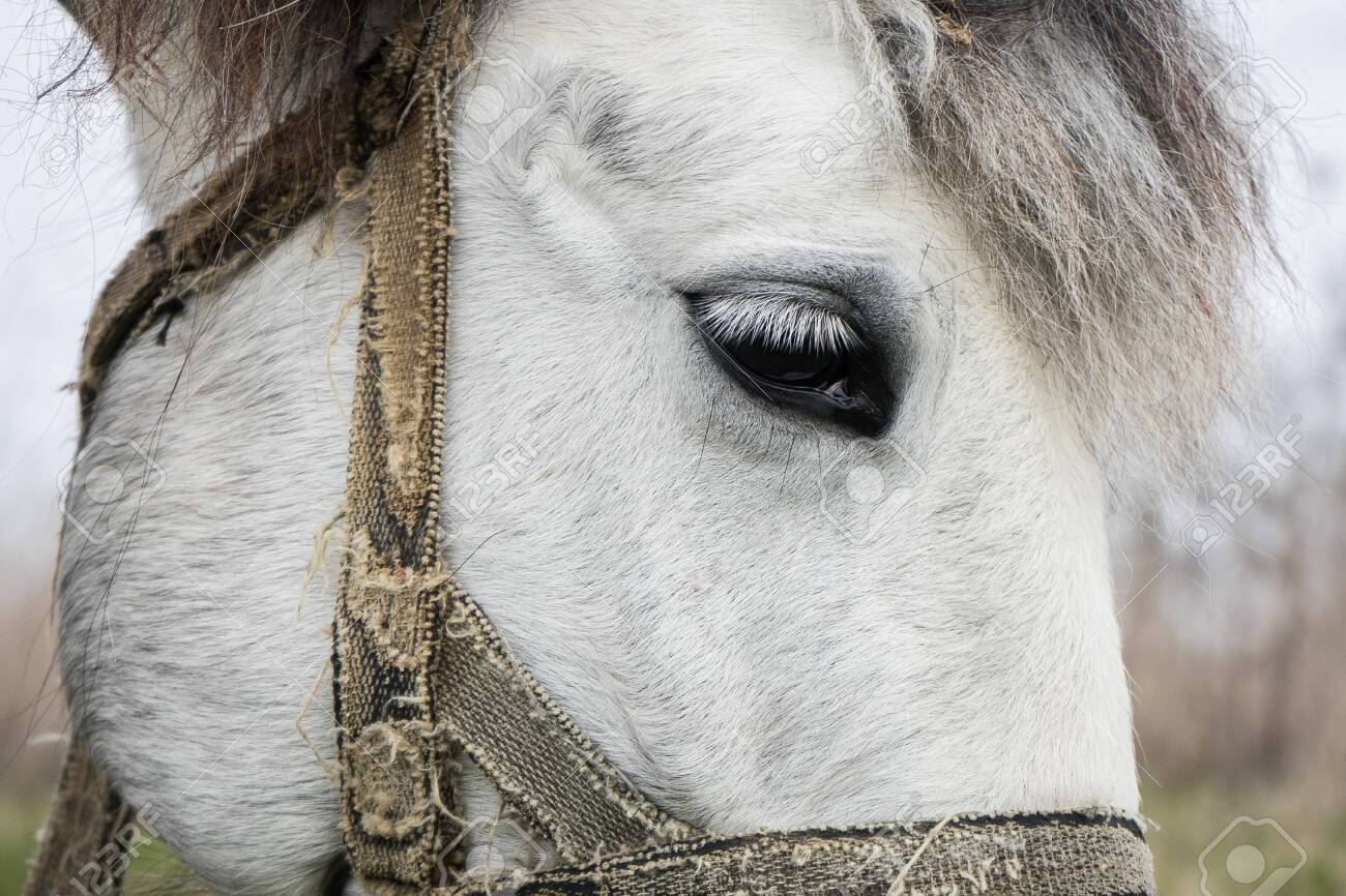 Eye Of A White Horse Close Up The Head Of A White Beautiful Stock Photo Picture And Royalty Free Image Image 150748453