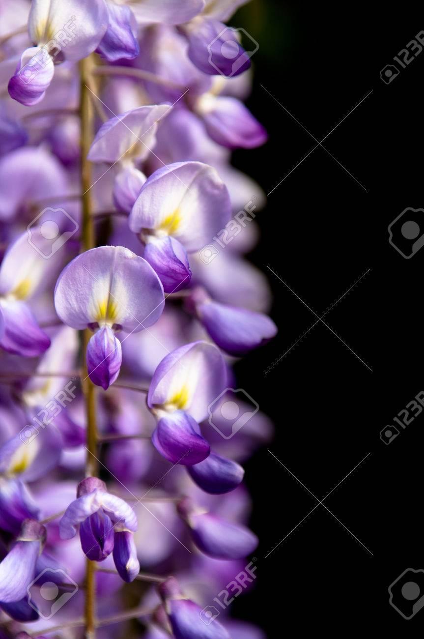 Robinia pseudoacacia tree flowers know as black locustpurple robinia pseudoacacia tree flowers know as black locustpurple pink copy mightylinksfo