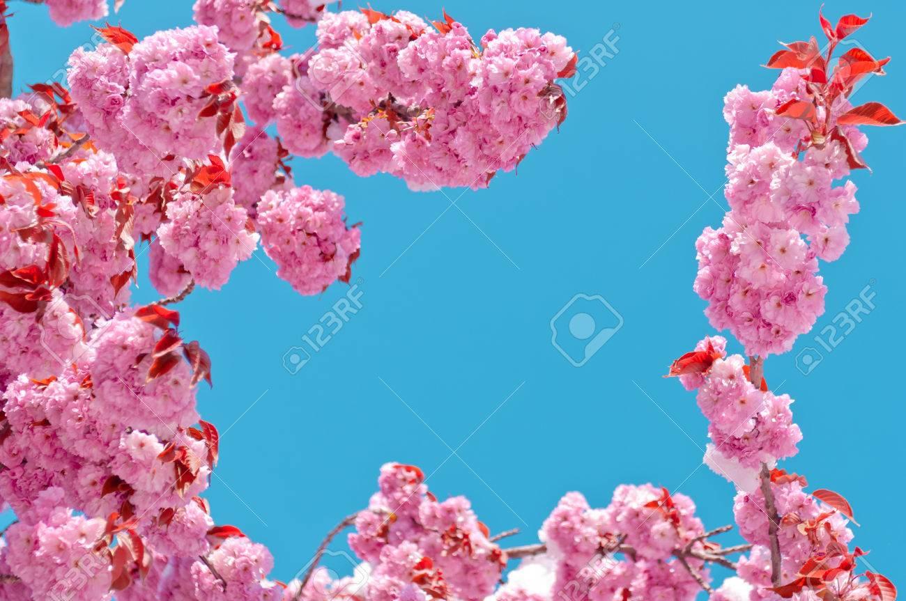 Cerisier En Fleurs Apres La Chute De Neige Cerisier Japonais Prunus