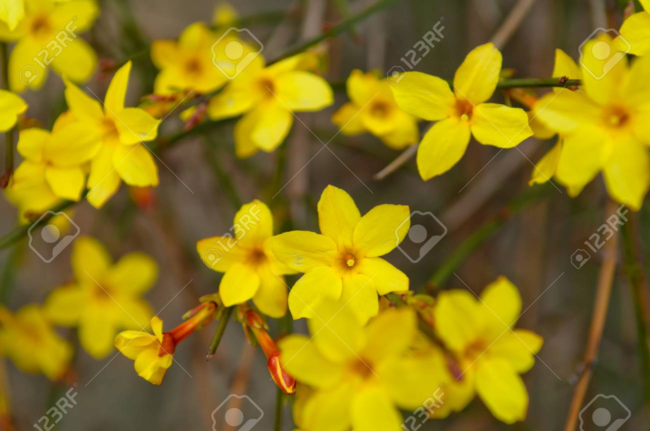 Winter Jasmine Or Jasminum Nudiflorum Deciduous Shrub Blooming
