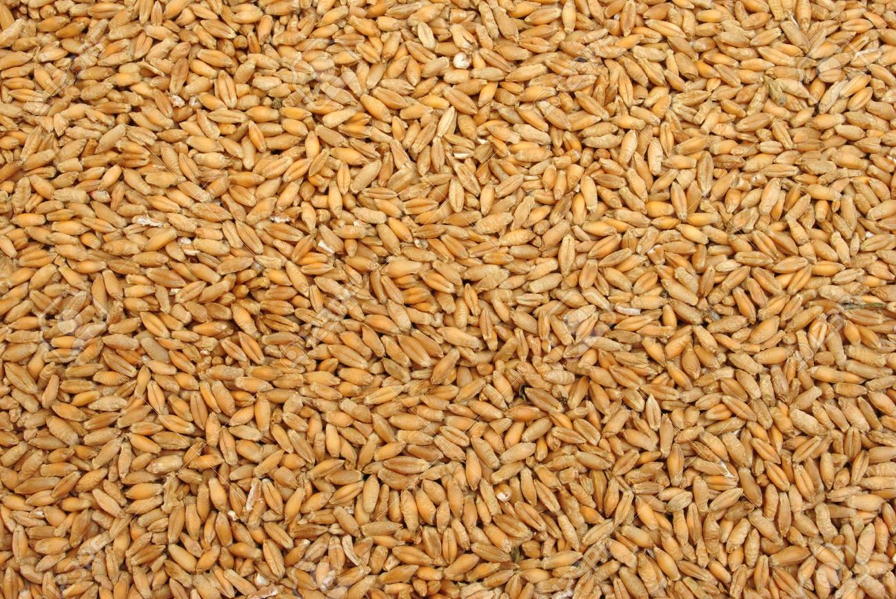 triticale is a hybrid of wheat and rye stock photo picture and