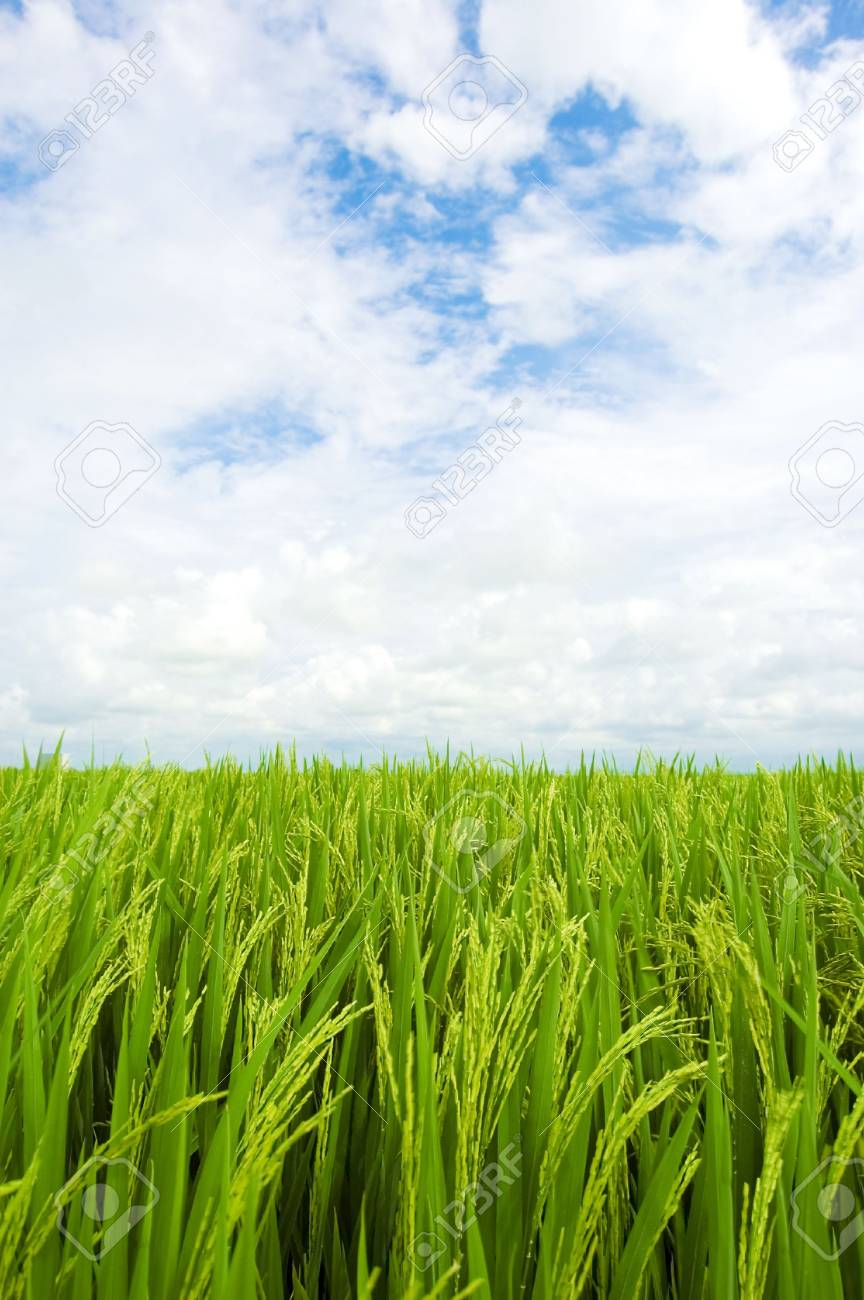 green rice field Stock Photo - 3313998