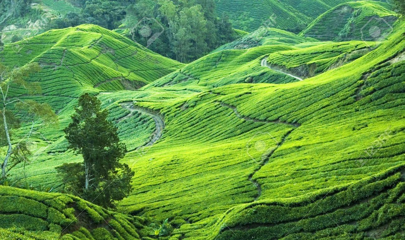 tea plantation view in morning Stock Photo - 3356854