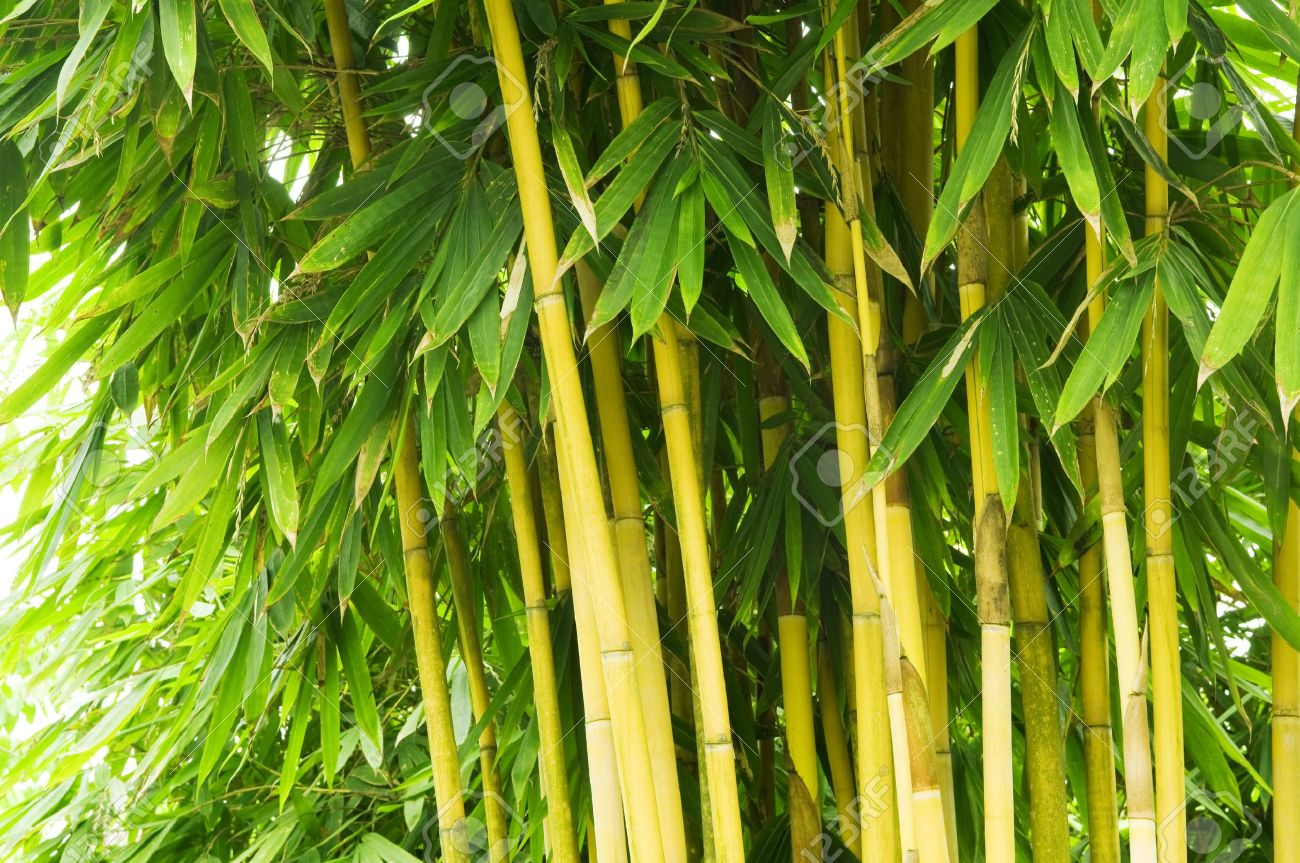 bamboo tree in oriental garden stock photo picture and royalty free