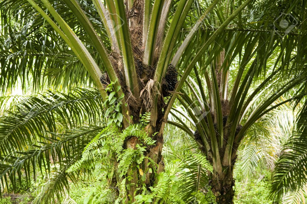 Palm oil to be extracted from its fruits. Stock Photo - 4841396
