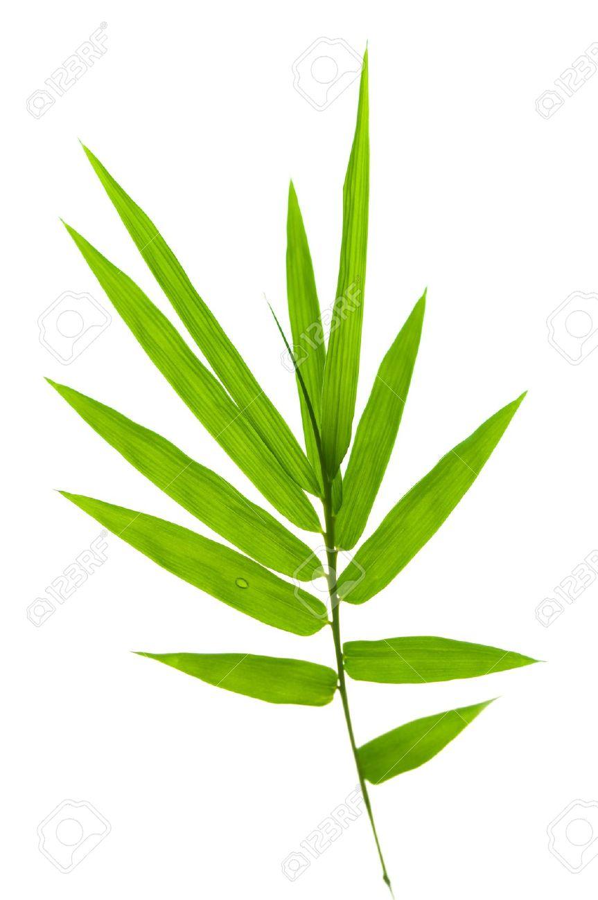 Foglia Di Bamb.Foglie Di Bambu Su Sfondo Bianco