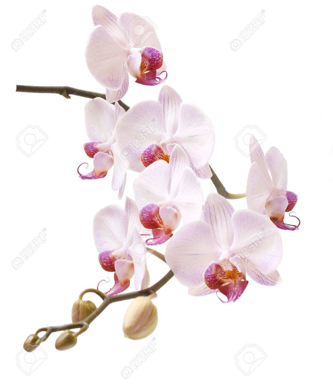 Beautiful, delicate an exotic flower on a white background. Stock Photo - 7729886