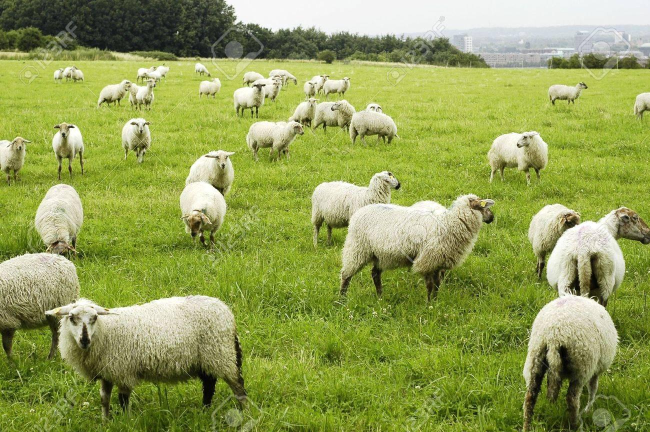 Sheep Stock Photo - 3429812