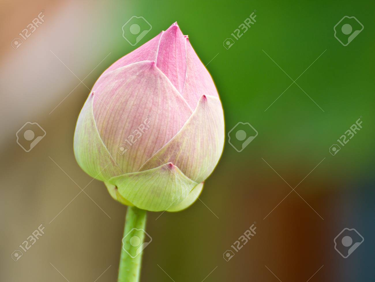 A pink lotus flower growing upright in thailand stock photo picture a pink lotus flower growing upright in thailand stock photo 15660017 izmirmasajfo
